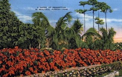 A Hedge of Poinsettias - Misc, Florida FL Postcard