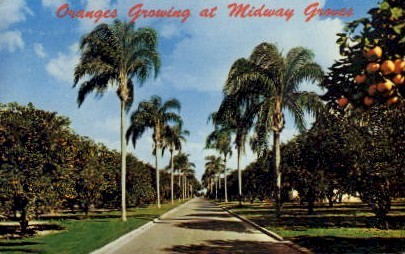 Oranges Growing at Midway Groves - Sarasota, Florida FL Postcard