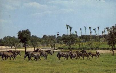 Zebra at Busch Gardens - Tampa, Florida FL Postcard