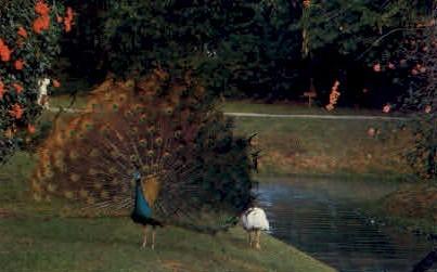 Beautifull Peacock - Sarasota, Florida FL Postcard
