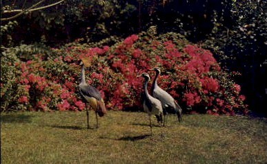 Golden Crested Crane & Demoiselle Cranes - Sarasota, Florida FL Postcard