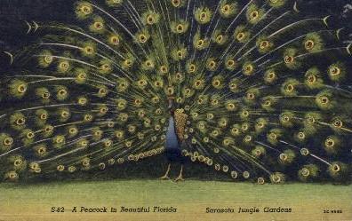 A Peacock - Sarasota, Florida FL Postcard