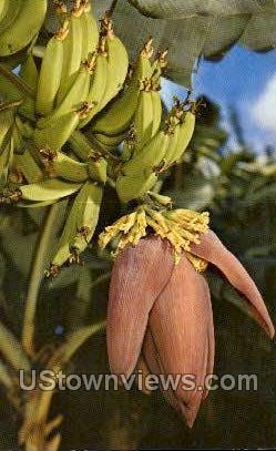 Banana Blossom - Misc, Florida FL Postcard