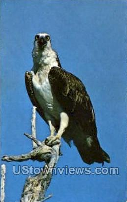 Ospery - Everglades National Park, Florida FL Postcard