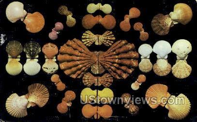 Shells - Gulf of Mexico, Florida FL Postcard