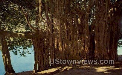 Banyan Tree - Crescent Lake, Florida FL Postcard