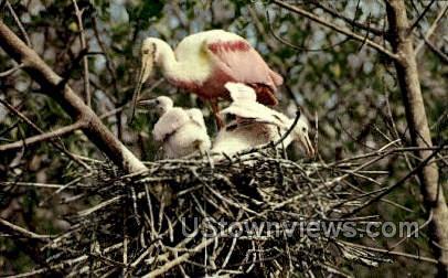 Roseate Spoonbills - Everglades National Park, Florida FL Postcard