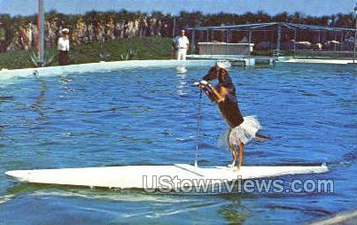 Dog Rides Surfboard - Marineland, Florida FL Postcard