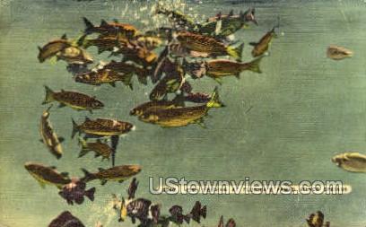 Fish Feeding - Silver Springs, Florida FL Postcard