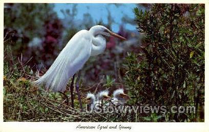 Egrets - Everglades National Park, Florida FL Postcard