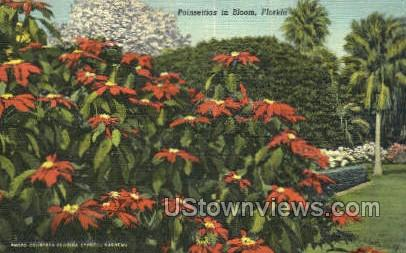 Poinsettias - Cypress Gardens, Florida FL Postcard