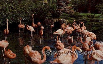 Flamingos - Sarasota, Florida FL Postcard