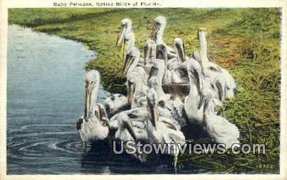 Baby Pelicans - Misc, Florida FL Postcard