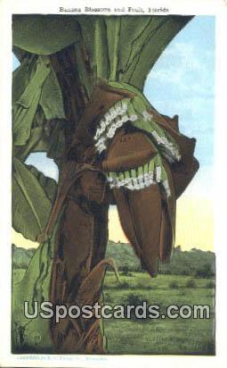 Banana - Misc, Florida FL Postcard