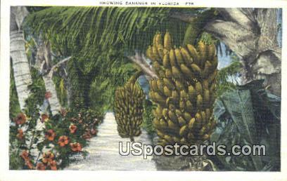 Bananas - Misc, Florida FL Postcard