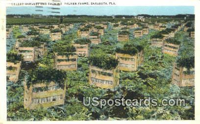 Celery Harvest, Palmer Farms - Sarasota, Florida FL Postcard