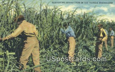 Harvesting Sugar - Everglades, Florida FL Postcard