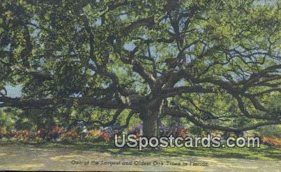 Largest & Oldest Oak - Misc, Florida FL Postcard