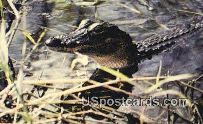 Alligator - Everglades National Park, Florida FL Postcard