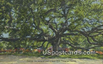 Largest & Oldest Oak Tree - Misc, Florida FL Postcard