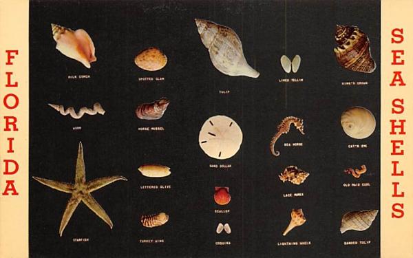 Florida Sea Shells, USA Postcard