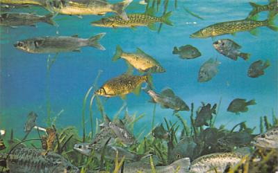 A few of the more than 35 varieties of fresh-water fish Silver Springs, Florida Postcard