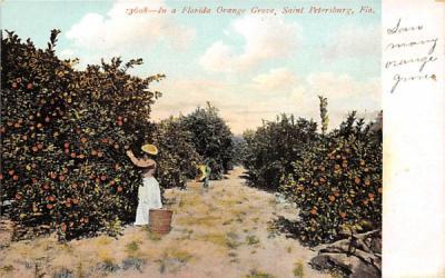 In a Florida Orange Grove Postcard