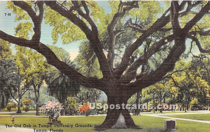 Old Oak, Tampa University - Florida FL Postcard