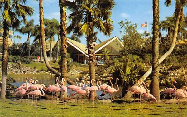 Flamingos Tampa, Florida Postcard