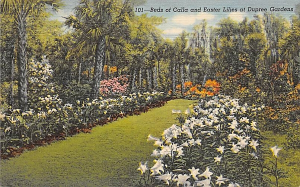 Beds of Calla and Easter Lilies at Dupree Gardens Tampa, Florida Postcard
