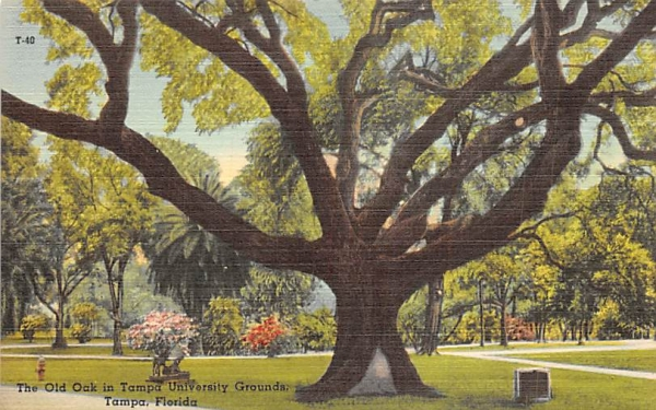 The Old Oak in Tampa University Grounds Florida Postcard