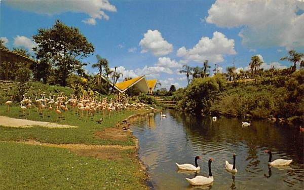 Black-necked Swans and Flamingos at Busch Gardens Tampa, Florida Postcard