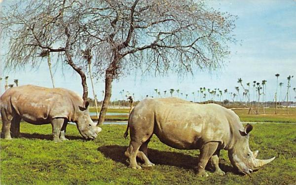 Two White Rhinoceroses at Busch Gardens Tampa, Florida Postcard