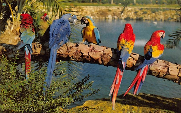 Trained Parrots at Busch Gardens Tampa, Florida Postcard