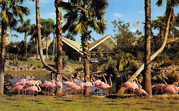 flamingos beside, lagoon at Busch Gardens Tampa, Florida Postcard