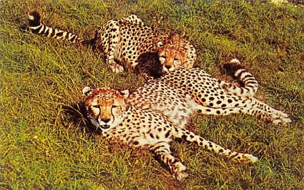 Two Cheetahs,