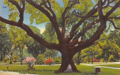 The Old Oak in Tampa University Grounds, FL, USA Florida Postcard