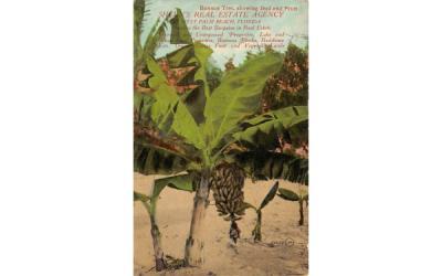 Banana Tree  West Palm Beach, Florida Postcard