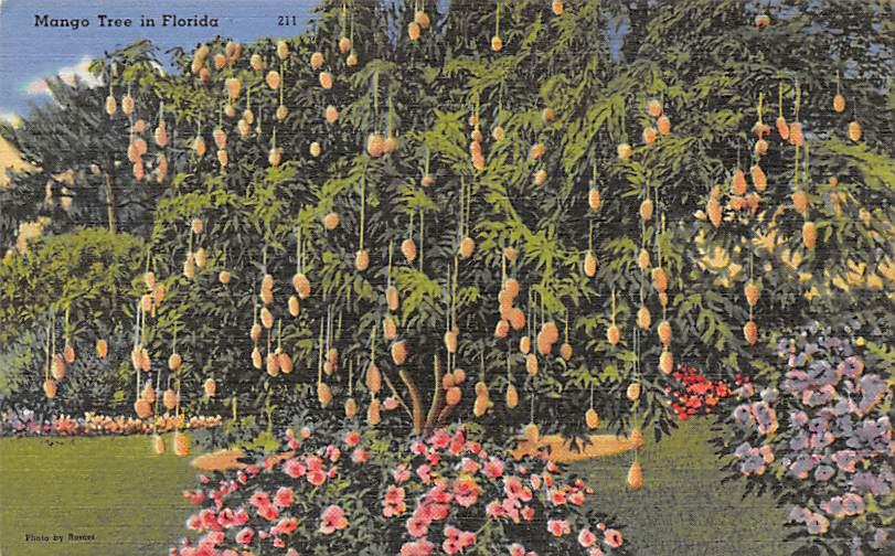 Mango Tree FL