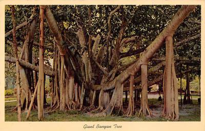 Banyan Trees FL