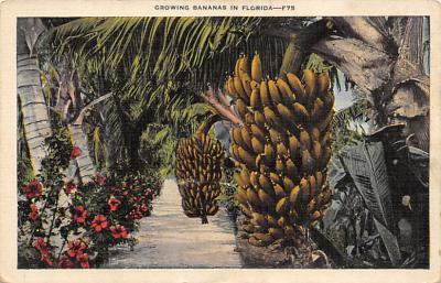 Banana Trees FL