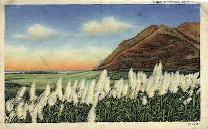 Cane Blossoms - Hawaii Postcards, Hawaii HI Postcard