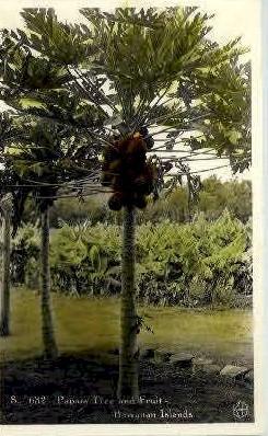 Papaia Tree & Fruit - Hawaiian Islands Postcards, Hawaii HI Postcard