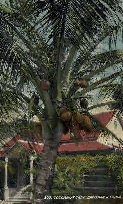 Cocoanut Tree - Hawaiian Islands Postcards, Hawaii HI Postcard