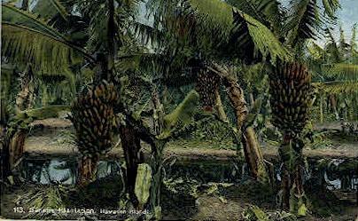 Banana Plantation - Hawaiian Islands Postcards, Hawaii HI Postcard