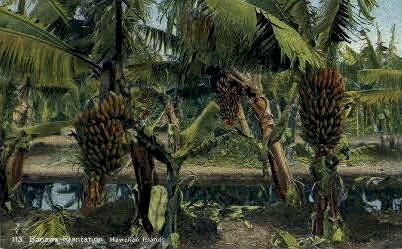 # 113 Banana Plantation - Hawaiian Islands Postcards, Hawaii HI Postcard