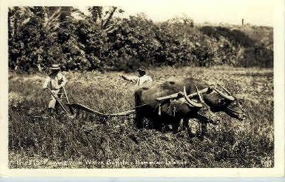 Field Plowing with Water Buffalo - Hawaiian Islands Postcards, Hawaii HI Postcard