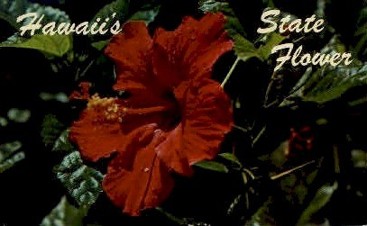 Red Hibiscus - Hawaii Postcards, Hawaii HI Postcard