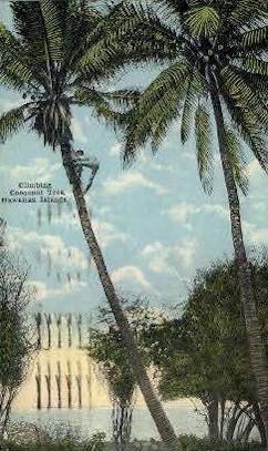 Climbing a Cocoanut Tree - Hawaiian Islands Postcards, Hawaii HI Postcard