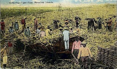Gathering Sugar Cane - Hawaiian Islands Postcards, Hawaii HI Postcard